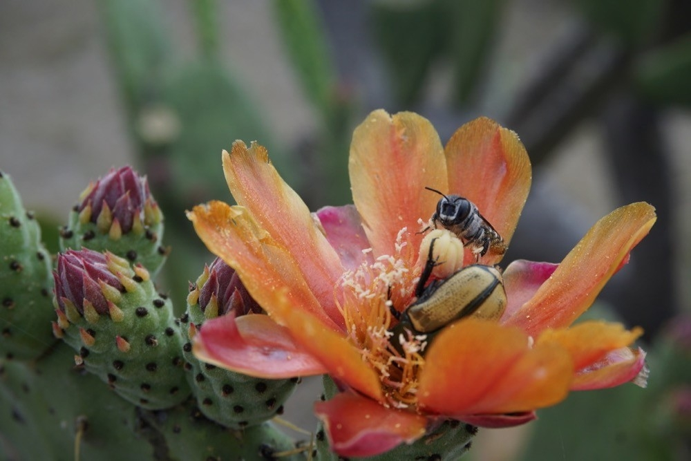 Large pink flower blossom with bee in Oaxaca, Mexico.