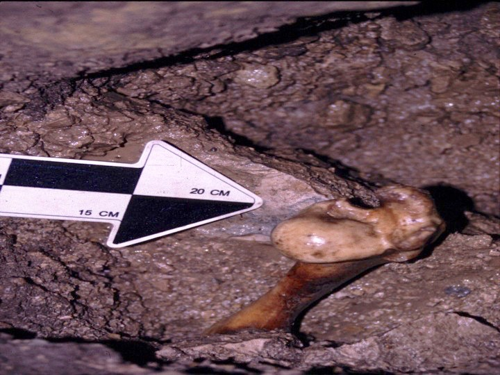 Ancient bone of a peccary beast from 12,500 years ago residing in dark rock.