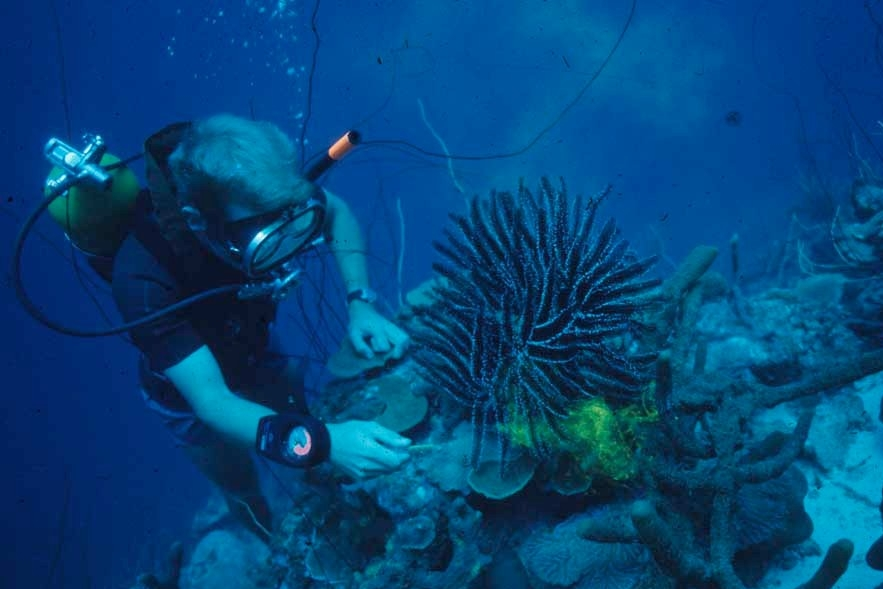 UC professor emeritus David Meyer squirts dye into the water to see a crinoid called Nemaster grandis filter-feed in the waters off Curacao. (Carl Roessler)