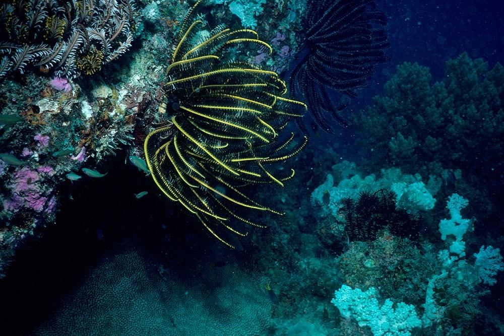 Anneissia Bennetti found off Australia's Great Barrier Reef. (David Meyer)
