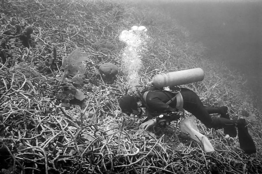 UC professor emeritus David Meyer photographed his dive partner, Sean Jackson, exploring a reef covered in staghorn coral (Acropora cervicornis) off Jamaica. photo/David Meyer