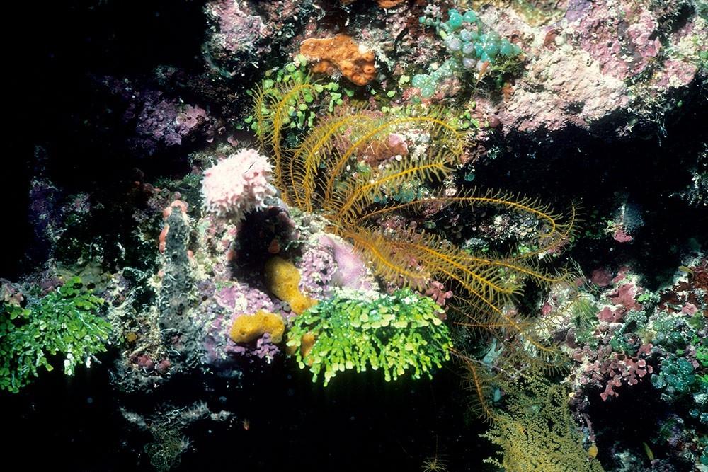 Phanogenia gracilis found off Palau. (David Meyer)