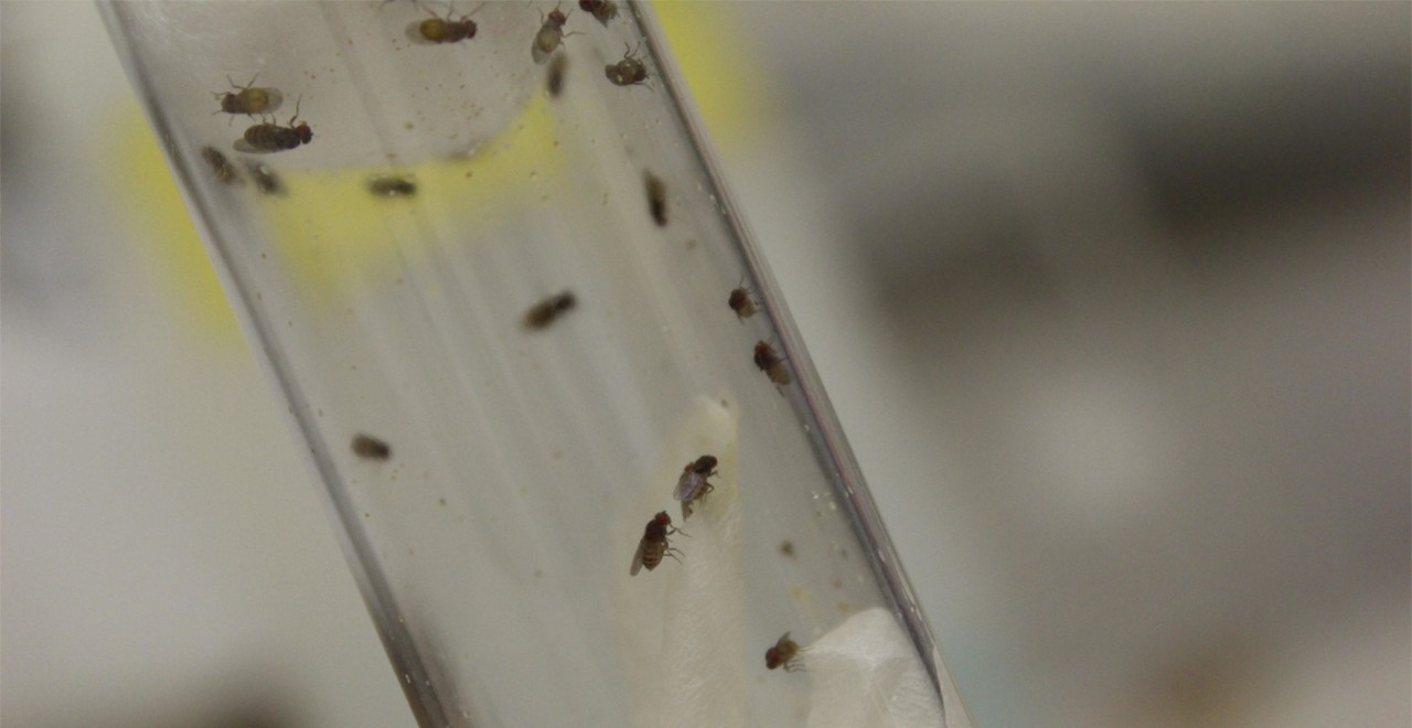 Fruit flies in a test tube