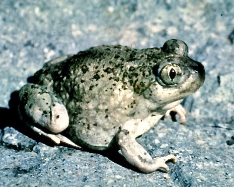 Adult spadefoot toad on a rock.