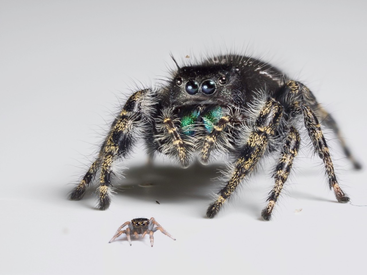 Two jumping spiders; a tiny juvenile and a larger adult. photo/Daniel Zurek