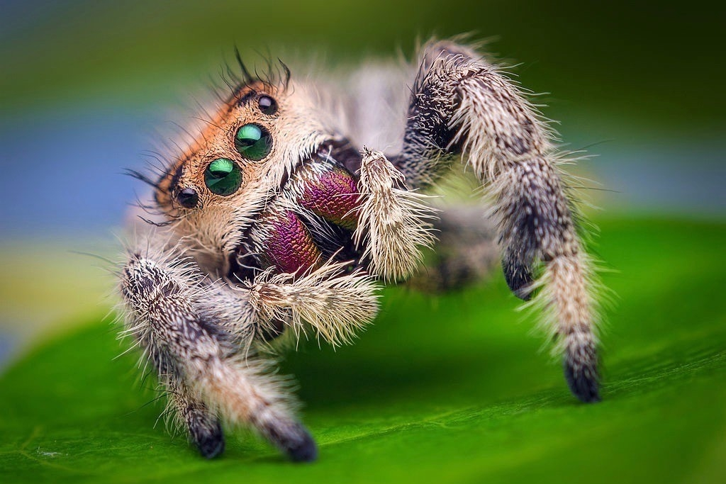 Colorful jumping spider faces forward displaying four of his eight eyes. photo/Thomas Shahan