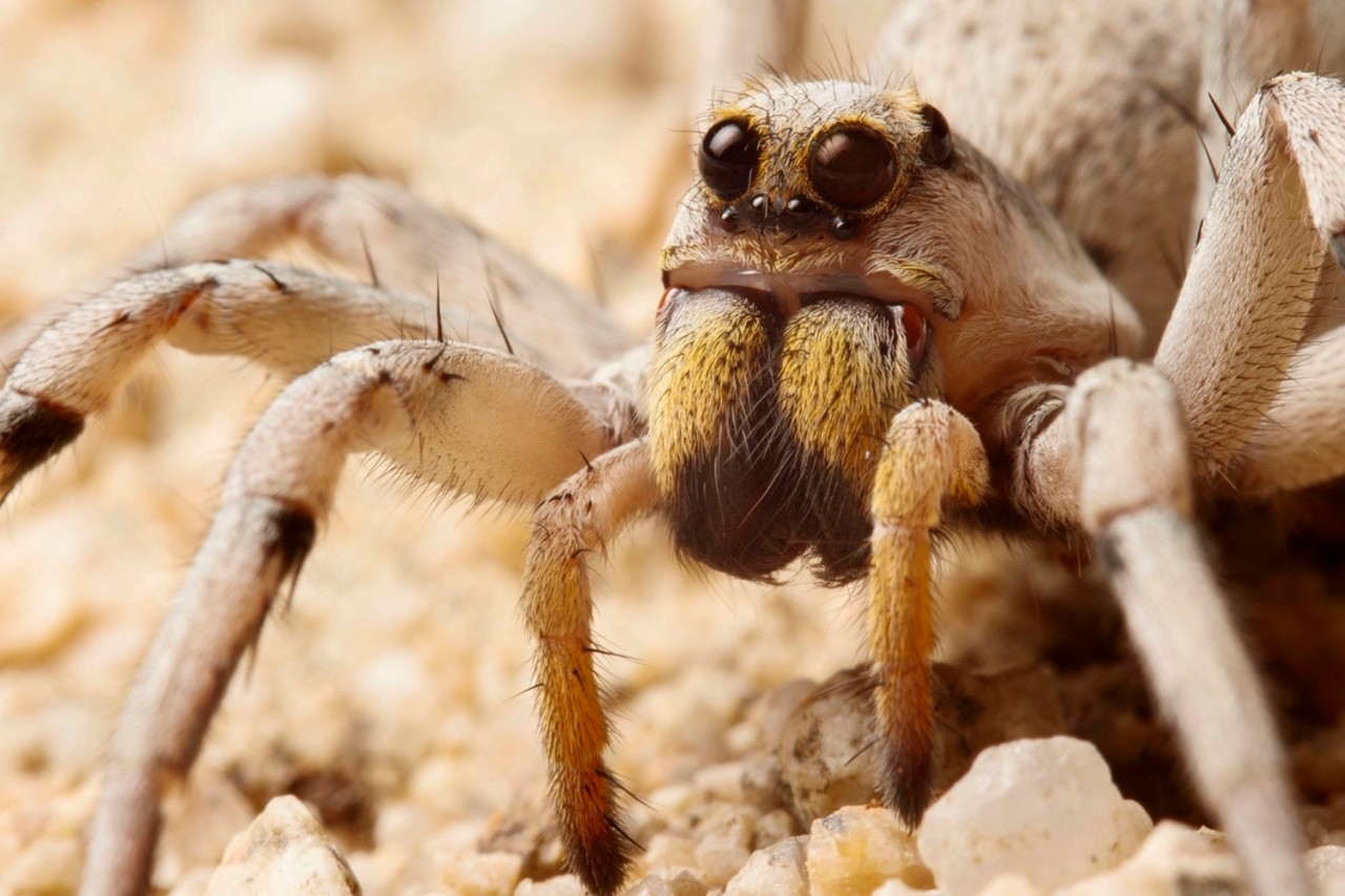 Close-up of the large and small eyes of the (Hogna) wolf spider. photo/Sean McCann