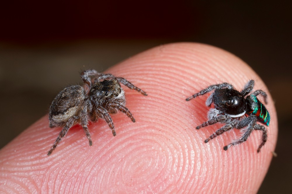 A female and male pair of peacock jumping spiders face each other while standing on a human finger to illustrate their tiny size. photo/Jurgen Otto