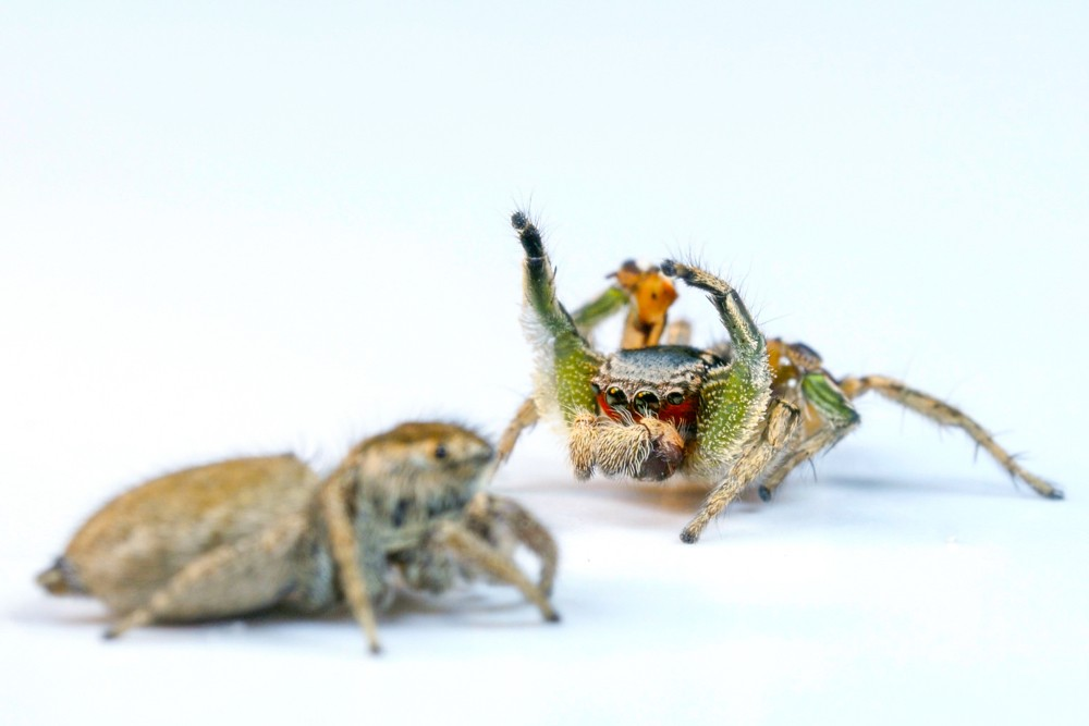 A female and male pair of Habronattus jumping spiders face each other before the male begins his colorful mating dance. photo/Daniel Zurek