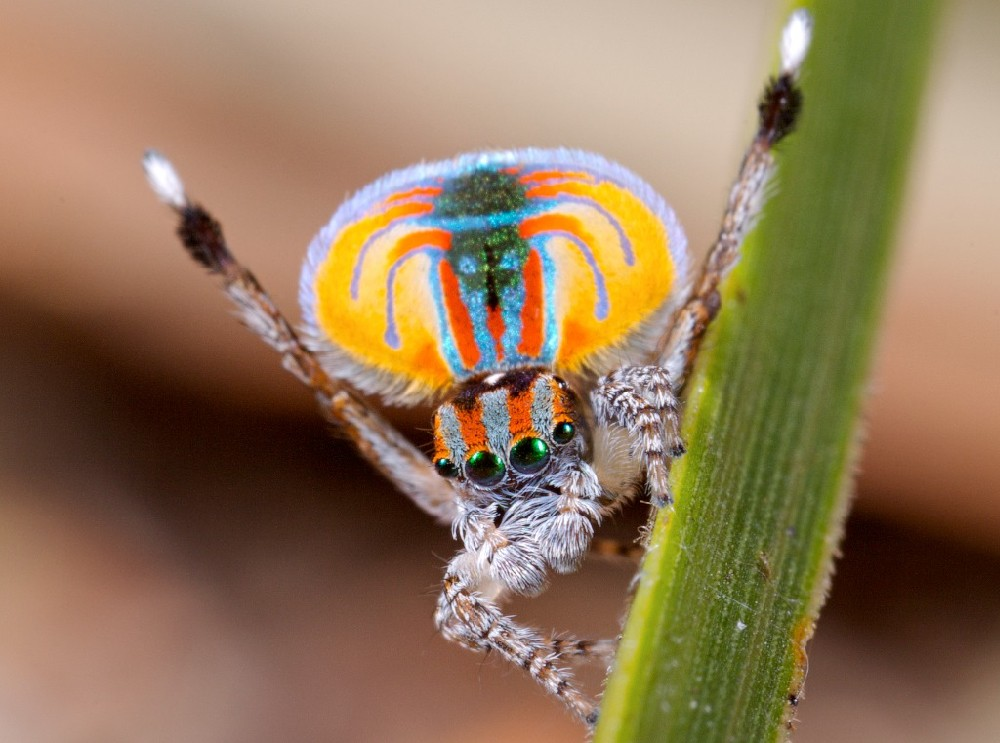 A male Australian Maratus jumping spider displaying his colorful abdominal flap. photo/Jurgen Otto