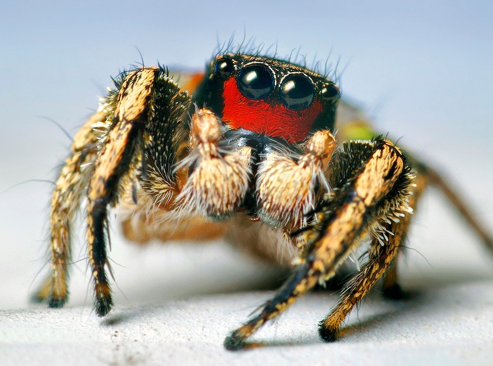 A male Habronattus jumping spider shows off his bright red face, furry legs and big eyes. photo Thomas Shahan