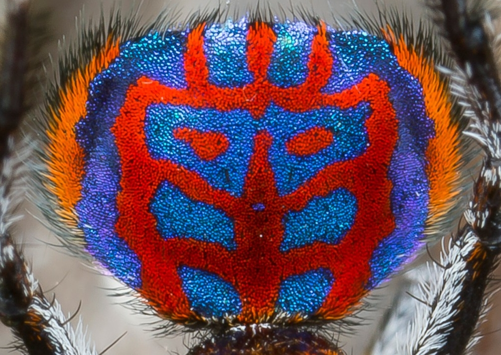 Close-up of the bright red and blue abdomen flap of an Australian Maratus peacock jumping spider. photo/Jurgen Otto