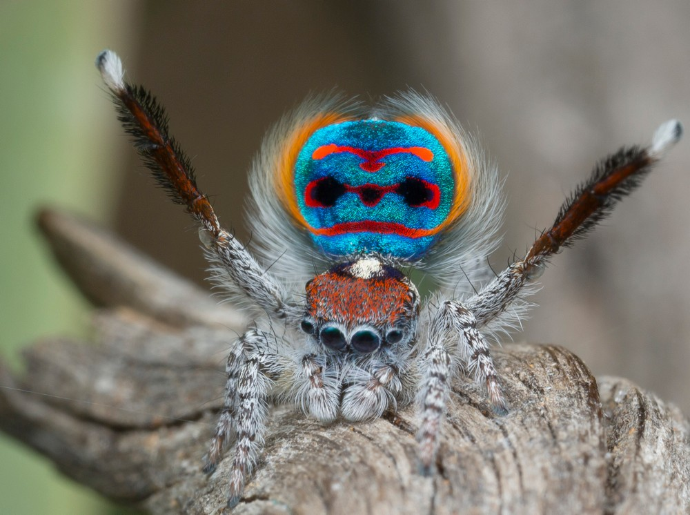 A male Maratus peacock jumping spider displays his red, blue and yellow abdomen flap on a tree branch. photo/Jurgen Otto
