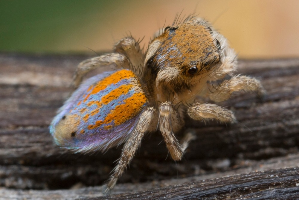 A male Australian peacock jumping spider stands on a branch showing the blue and orange colors on his back. photo/Jurgen Otto