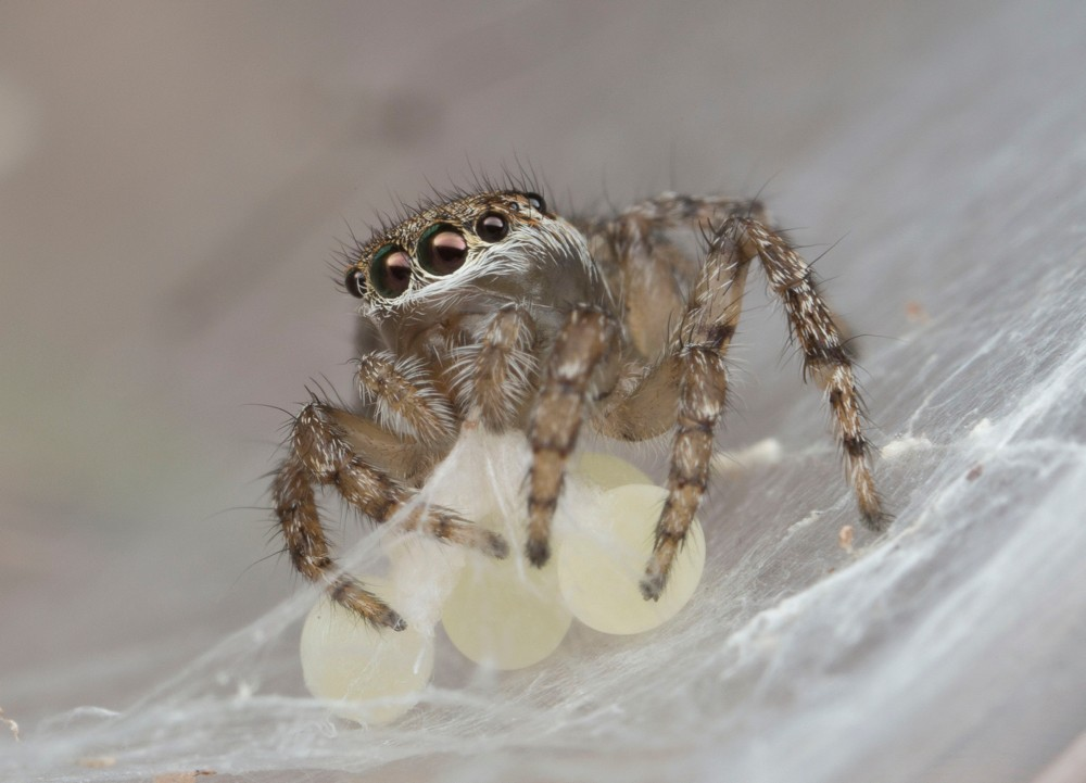 A female peacock jumping spider gathers her eggs within a web. photo/Jurgen Otto