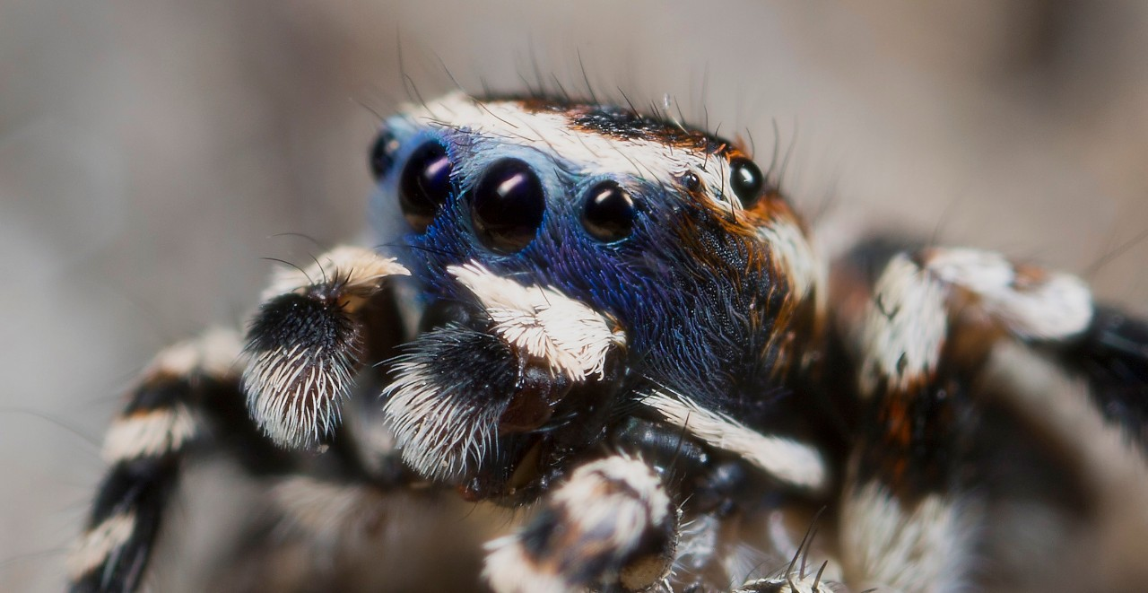 A male Australian Maratus jumping spider shows his eight eyes close-up. photo/Jurgen Otto