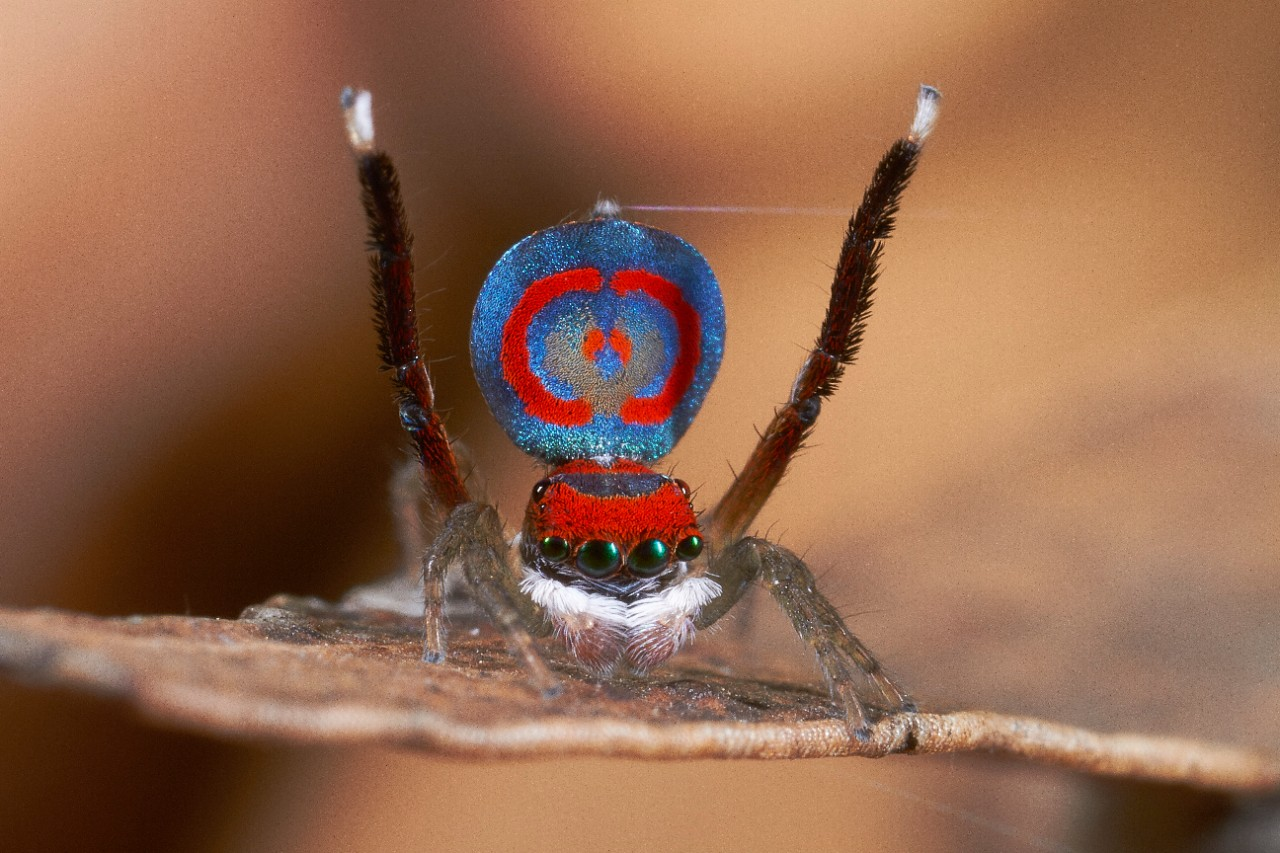 A male Maratus peacock jumping spider displays his red and blue abdomen flap on a tree branch. photo/Jurgen Otto