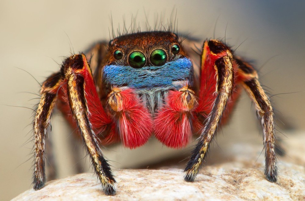 Close-up of a Habronattus jumping spider with blue and red face. photo/Thomas Shahan