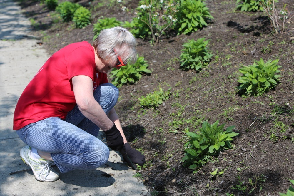 A woman kneels down pulling weeds from a landscape bed along a sidewalk.