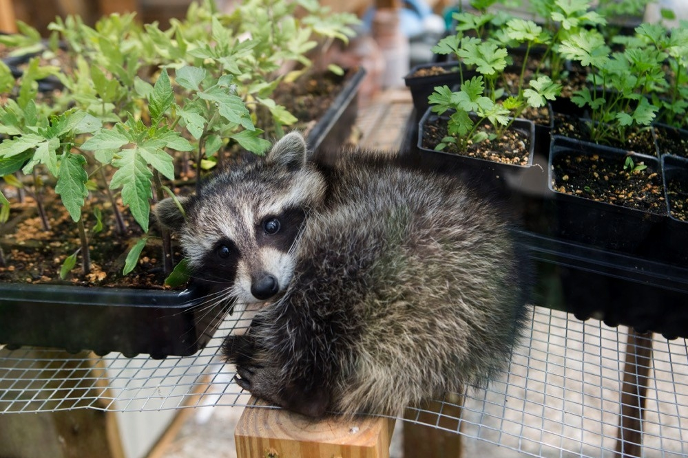 A baby racoon is curled up and looking at camera lying between two flats of young garden-ready plants