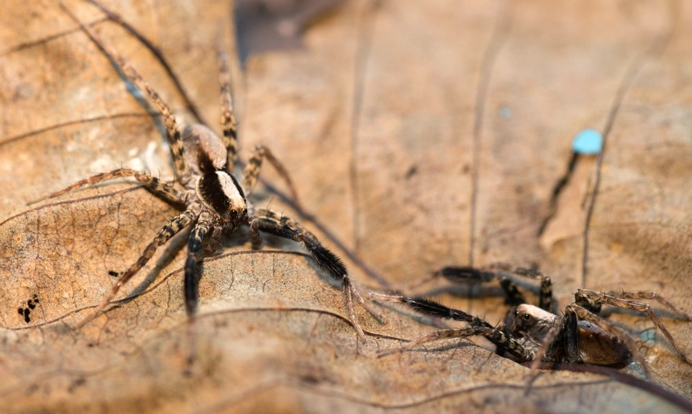 UC biologists are studying the mating behavior of wolf spiders to learn more about how closely related species evolved.