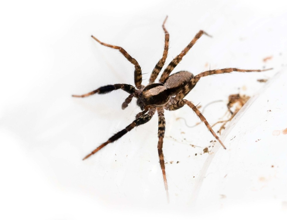 UC biologists are studying the vision of wolf spiders.