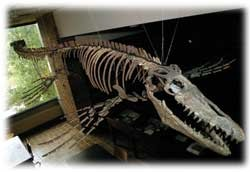 Mosasaur in Geology's Durrell Museum photo/Dottie Stover