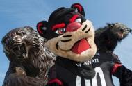 A photo of three versions of the University of Cincinnati mascot, the Bearcat -- a statue, a costumed mascot and a binturong.