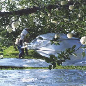 Silver reflective mats under apple trees