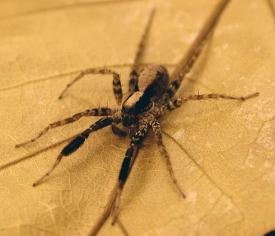 Schizocosa ocreata wolf spider