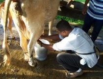 Williams learns to milk a cow.