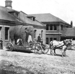 Old Chief, the elephant, arrives at UC.  photo/courtesy of UC Archives and Rare Books Library