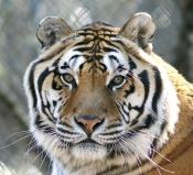 Tex the tiger