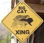 Big cat crossing